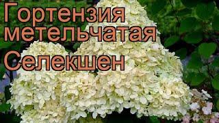 Гортензия метельчатая Селекшен ???? обзор: как сажать, саженцы гортензии Селекшен