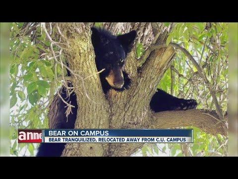 Bear on Colorado University, Boulder campus