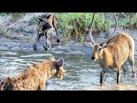 Hyenas Steal Wild Dog Kill in Epic Battle - Twice!