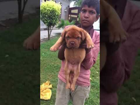 French Mastiff male and female puppies for sale in Gurgaon Pet Shop call 921 250 1257