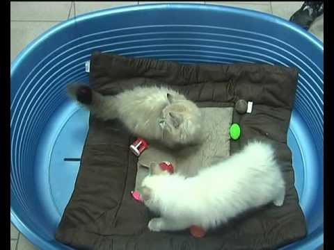 При выборе вещей для котенка, пожалуй, в первую очередь нужно позаботиться о мисках для котенка. Вам понадобится сразу несколько штук: одна глубокая для воды и две неглубоких для корма. Вода должна быть чистой (лучше всего из фильтра) и свежей — кошки не пьют грязную и застоявшуюся воду.