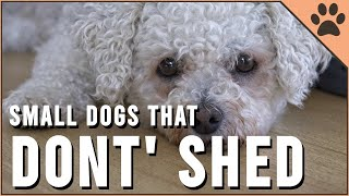 Top 10 Small Dog Breeds That Don't Shed