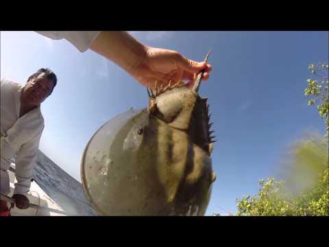 Horseshoe crab in Isla del Carmen, Campeche, Mexico.