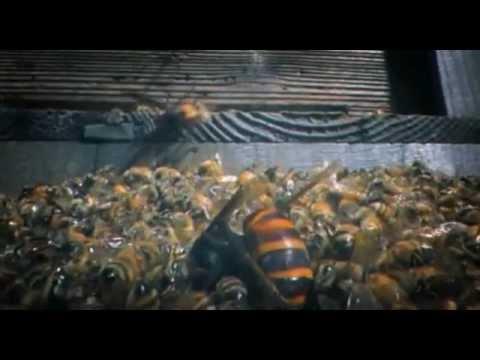 30 Japanese Giant Hornets kill 30,000 Honey Bees
