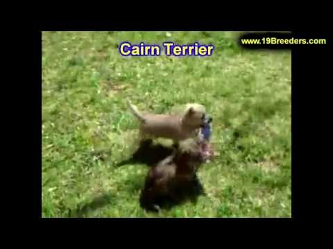 cairn-terrier,-puppies,-for,-sale,-in,-minneapolis,-minnesota,-mn,-inver-grove-heights,-roseville,-c