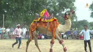 राजस्थानी ऊंट का ऐसा डांस आप ने पहले कभी नही देखा होगा   New Rajasthani Camel Dance