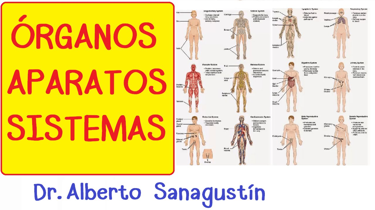Órganos, Aparatos y Sistemas: introducción | Cuerpo humano - YouTube