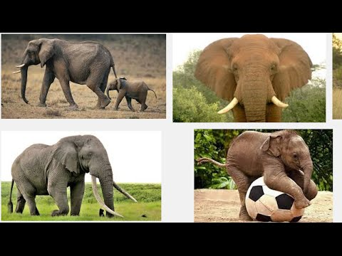 elephant dream of elephant dream about elephant dream elephant meaning of elephant dream. Black Bedroom Furniture Sets. Home Design Ideas