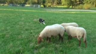 Luigi 6 month at sheep