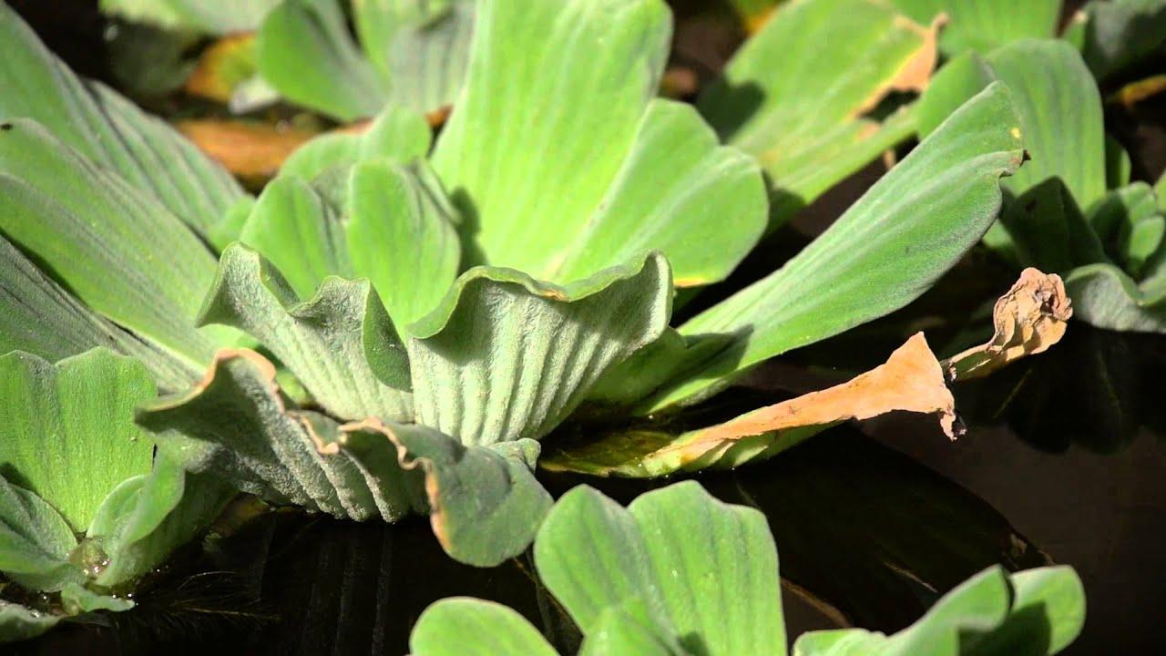 Imagenes de plantas ornamentales plantas acuaticas for 6 plantas ornamentales