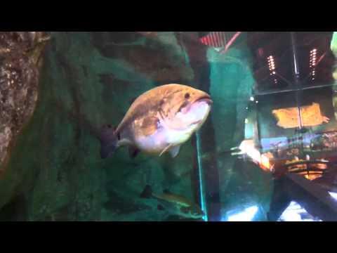 BassPro Harrisburg Aquarium with Largemouth, Catfish, and a Muskie