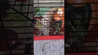 Урок биологии 3003.хомяк ест местную фауну/коноплю/ барнаул 2019