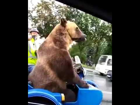 VIDEO EPICO-Un Orso è Su Una Moto