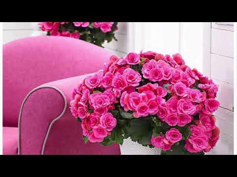 Комнатная бегония Элатиор пышное цветение почти круглый год