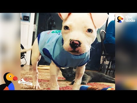 Pittie Puppy Grows Up Strong In A House Full Of Special Needs Pit Bulls   The Dodo Pittie Nation