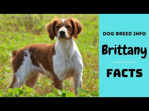 Brittany dog breed. All breed characteristics and facts about Brittany dogs
