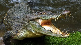 """Крокодильи банды. Кровавые """"Разборки"""" крокодилов"""