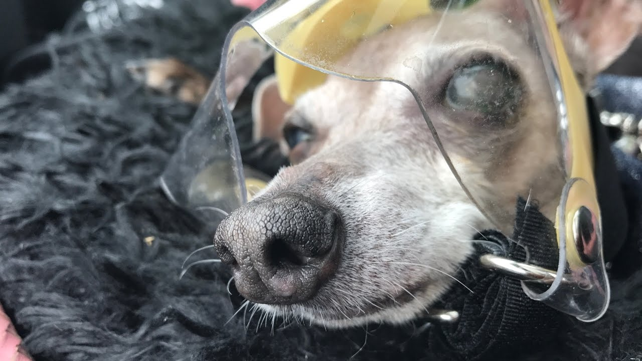 4ac8f6ff09 Optivizor  The BEST Pet Eye Protection on the Market - by Laura Dion-Jones