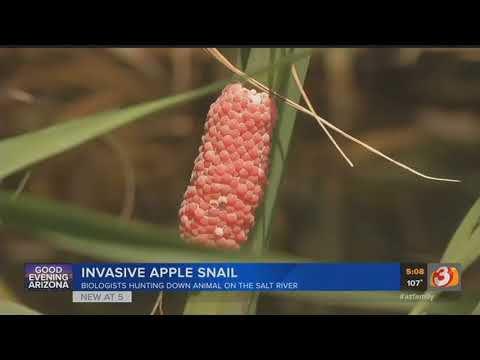 VIDEO: Invasive Snail Species Targeted By AZ Game And Fish