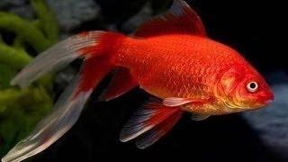 Золотые рыбки разных окрасок - Goldfish