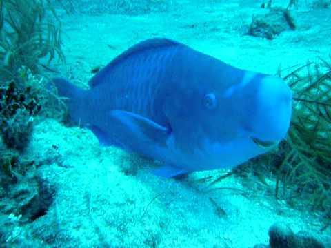 BLUE PARROT FISH - BAHAMAS
