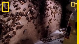 Creepy Cockroach Courtship | National Geographic