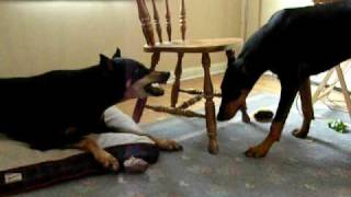 Doberman Dog Fight - Young Vs. Old
