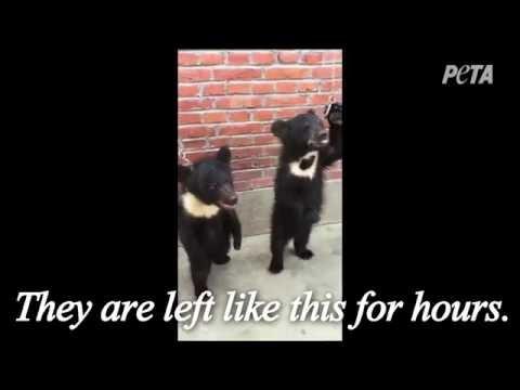 Have you ever heard a baby bear's spirit break? THIS is the circus through the PETA TEAM | VERY SAD