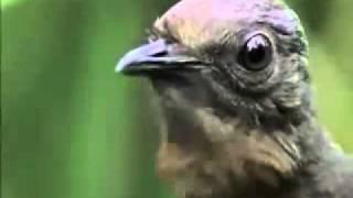 Попугаи отдыхают - лирохвост из Австралии(, 2011-08-19T20:23:27.000Z)