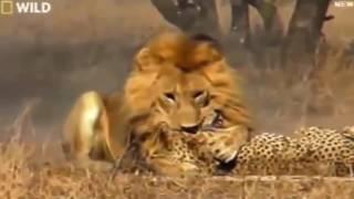 Download Video Pertarungan Tidak Seimbang Singa Vs Cheetah MP3 3GP MP4