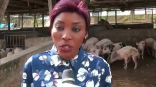 NTA news on pig farming in Nigeriaa