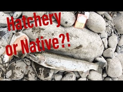 How To Identify And Tag A Hatchery Salmon Or Steelhead In Oregon