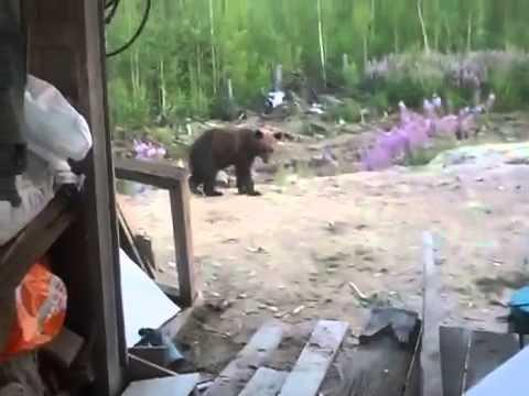 Сахалин медведица напала на людей
