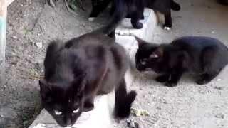 Коты едят сметану