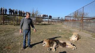 Интересная информация о пищеварении львов ! Сэм любит лечиться !