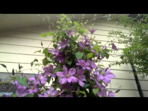 Planting A Clematis Doovi