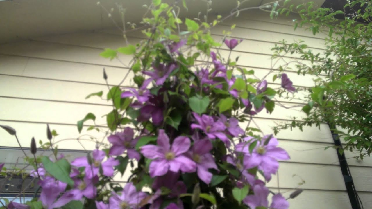 Best Plants For Morning Sun Afternoon Shade Clematis