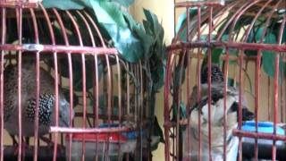 Repeat youtube video Tekukur นกเขาใหญ่คูอ่าง