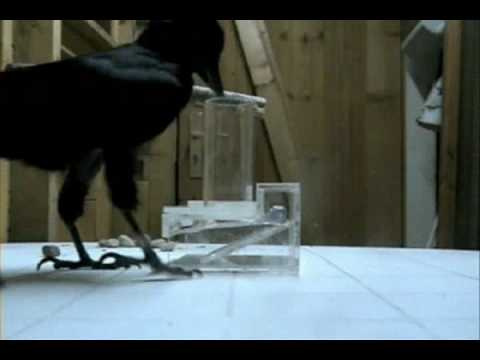 Problem solving by a clever crow