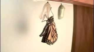 Monarch Buterfly   Mobile
