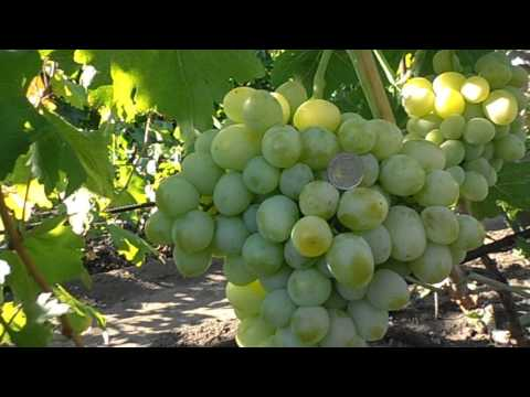Виноград Эмигрант