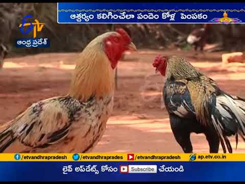 Special Training for Fighting Cocks | ETV Special Story