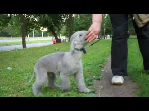 Bedlington puppy Lord 4 mon 00012