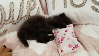 Black kitten playing - must watch!