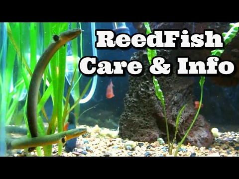 Reedfish Care And Information