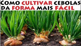 como cultivar cebolas da forma mais fácil do mundo
