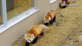 歩いているだけでかわいい♡レッサーパンダ行列〜Red Panda matrix