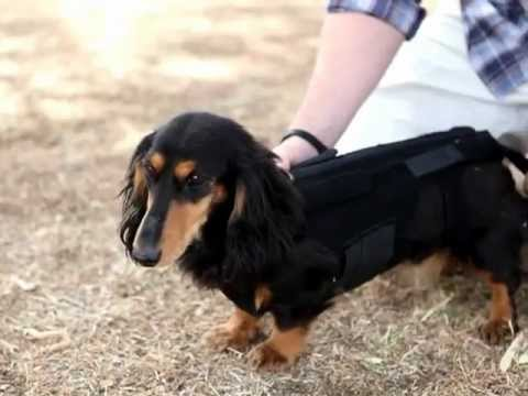 Lil Back Bracer Dachshund Back Brace Instructions