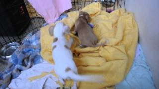 Rescue Pups - Doxie Beagle Min Pin Mix?  Small Breed Pups Available
