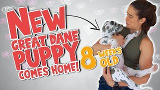 New Great Dane Puppy Comes HOME! Froyo the great dane meets 8 week old puppy. Love or jealousy?